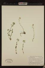 Noccaea fendleri subsp. glauca image