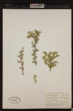 Image of Atriplex confertifolia
