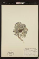 Astragalus purshii var. lagopinus image