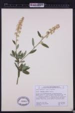 Image of Ceanothus palmeri