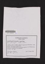 Dermatocarpon reticulatum image