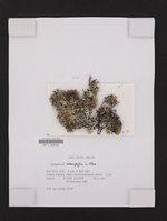 Hypogymnia heterophylla image
