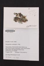 Hypogymnia occidentalis image
