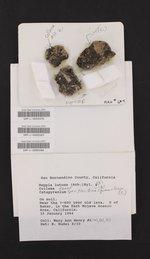 Placidium squamulosum image