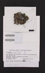 Psora cerebriformis image