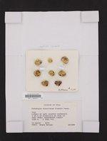 Gyalolechia desertorum image