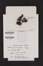 Image of Rinodina colobina
