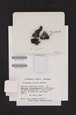 Rinodina colobina image