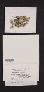 Stereocaulon alpinum image