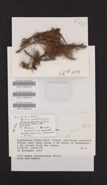Bryoria pseudofuscescens image