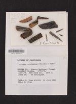 Pseudothelomma ocellatum image