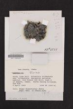 Thalloidima sedifolium image