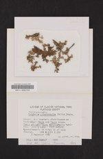 Tuckermanopsis chlorophylla image