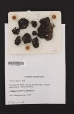 Arthonia glebosa image