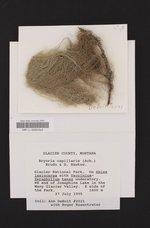 Bryoria capillaris image