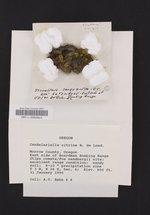 Candelariella citrina image