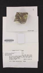 Calicium corynellum image