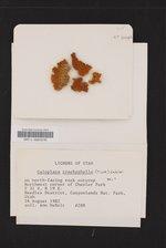 Xanthomendoza trachyphylla image