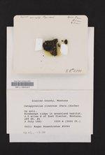 Catapyrenium cinereum image