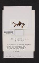 Cetraria ericetorum subsp. reticulata image