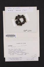 Lathagrium cristatum image