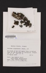 Collema nigrescens image