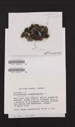 Placynthiella icmalea image