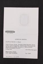 Koerberia biformis image