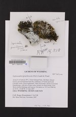 Lepraria gracilescens image