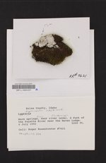 Lepraria subalbicans image
