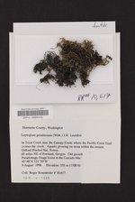 Scytinium gelatinosum image