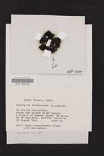 Scytinium lichenoides image