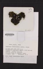 Scytinium palmatum image
