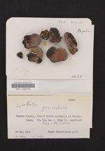 Lobothallia praeradiosa image