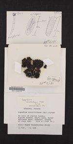 Lopadium coralloideum image