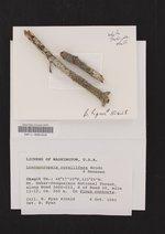 Loxosporopsis corallifera image