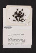 Melanelixia fuliginosa image