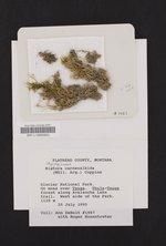 Mycobilimbia carneoalbida image