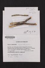 Mycobilimbia pilularis image