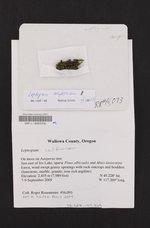 Scytinium californicum image