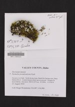 Parmelia pseudosulcata image