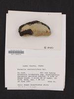 Xanthoparmelia verruculifera image