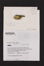 Chaenotheca brunneola image
