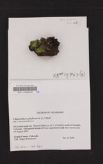 Chaenotheca furfuracea image