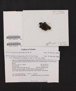 Blastenia ammiospila image