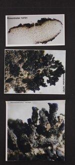 Lempholemma radiatum image
