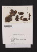 Melanohalea multispora image