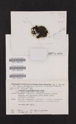 Placynthiella uliginosa image
