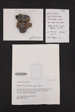 Rhizocarpon geminatum image