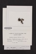 Rinodina turfacea image